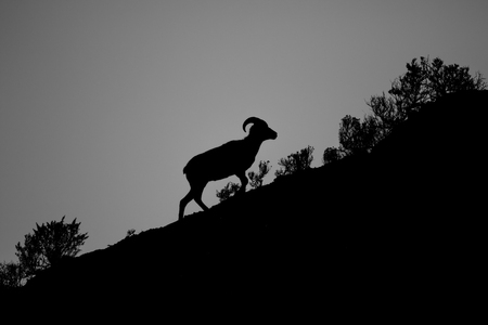 Silhouette of a Bighorn Sheep walking up a hill