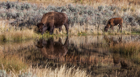 Bison drinking water in a pond with reflections Stock Photo