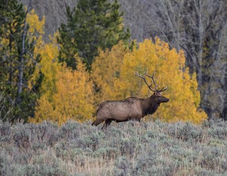 Male Elk Stock Photo