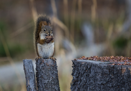 Squirrel sitting on a stump eating a pine cone