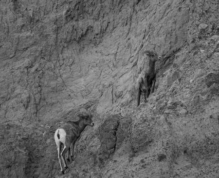 borrego cimarron: Ovejas de Bighorn en blanco y negro Foto de archivo