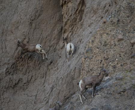 borrego cimarron: Borrego Sheep  Foto de archivo