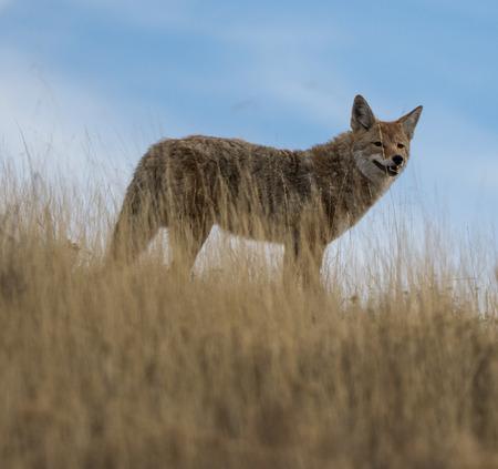 Coyote Stock Photo