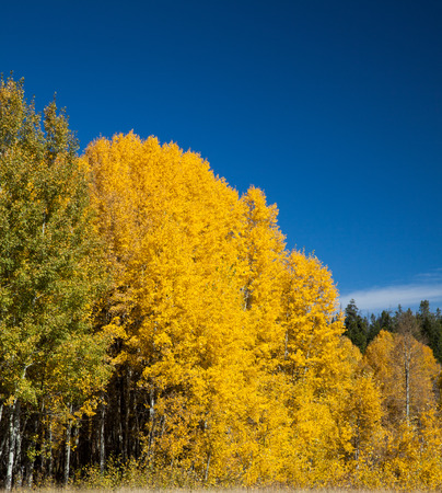 Aspens in full fall color
