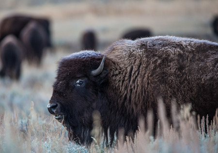 Bison with frost on body