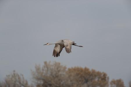 sandhill crane: Sandhill Crane in Flight
