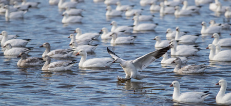Snow Goose Landing on the Water Stock Photo