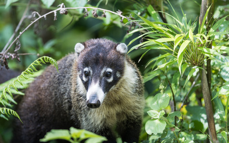 White-nosed coati hidden in the forest in Costa Rica Stock Photo
