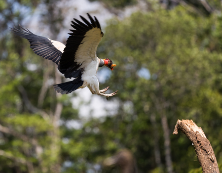 King Vulture in flight ready to land on a tree branch in Costa Rica