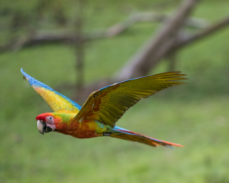 Great Green Macaw in flight in Costa Rica
