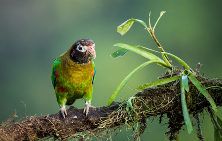Brown-hooded Parrot perched on a moss covered branch