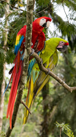 Green and Scarlet Macaw Stock Photo