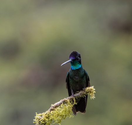 Hummingbird perched on a branch in Costa Rica Stock Photo