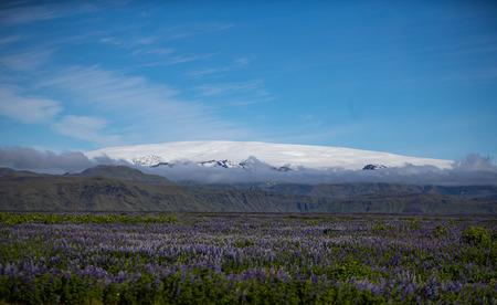Mýrdalsjökull Glacier with a field of Lupines Фото со стока