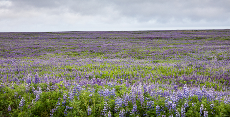 Field of Lupines along the South Coast of Iceland