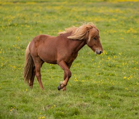 Icelandic Horse in a grass field