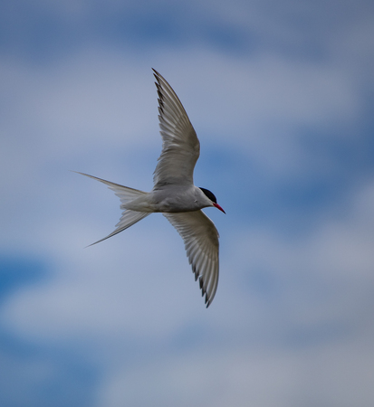 Arctic Tern in flight in the South Coast of Iceland Фото со стока