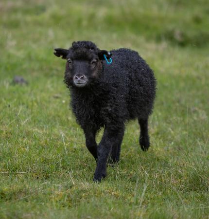 Little Black Sheep walking in a grass field Фото со стока