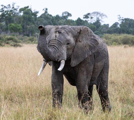 African Elephant Фото со стока