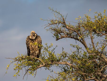Rupells Griffon Vulture