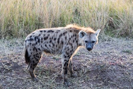 Spotted Hyena Фото со стока
