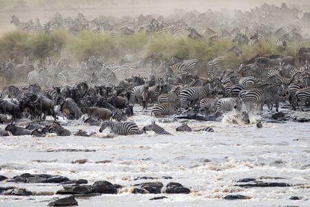 Zebras and Wildebeests crossing the Mara River Stockfoto