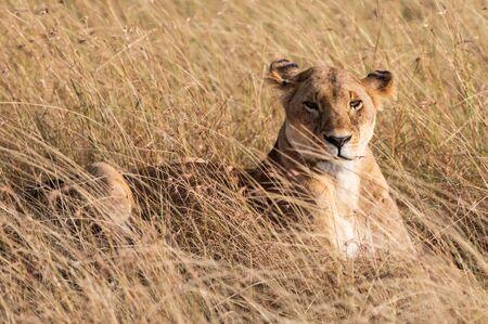 Female lion in the grass in the Masai Mara Фото со стока