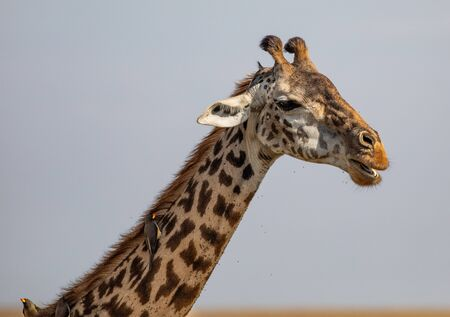 Close-up of a Masai Race Giraffe in the Masai Mara Фото со стока