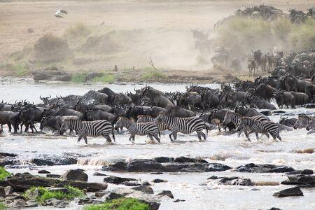 Mara River Crossing of Wildebeests and Zebras