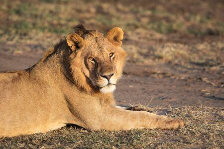 Young Male Lion laying in the Masai Mara