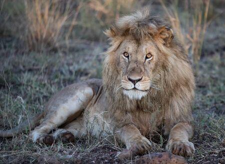 Male Lion sitting in the Masai Mara