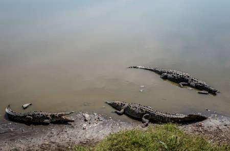 Crocodiles in San Blas, Mexico.