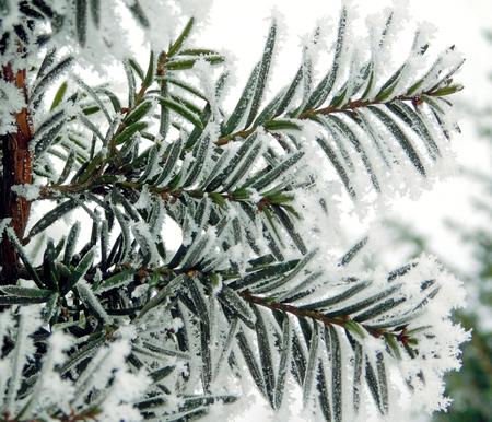 Yew frozen leaf Banco de Imagens