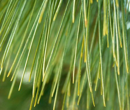 Coniferous tree leaf