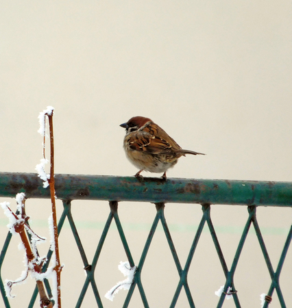 Frozen sparrow on old rusty metal fence