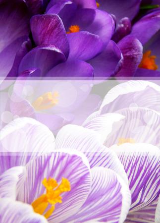 Crocus spring card