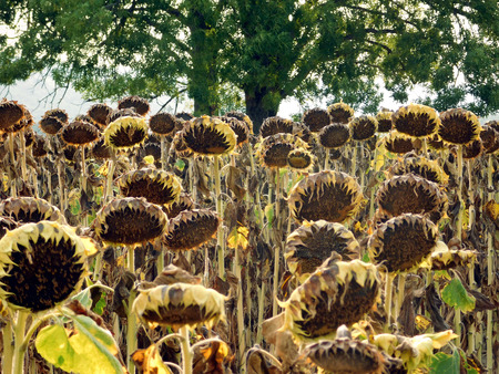Agricultural field of dry ripe sunflowers ready for harvest Banco de Imagens