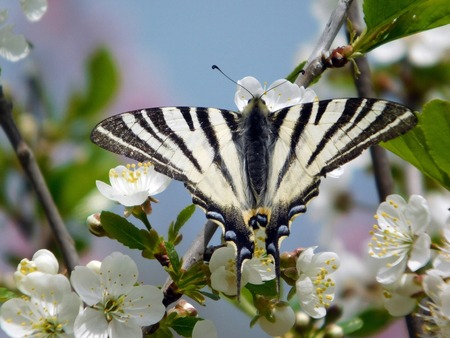 Butterfly on the plum flower