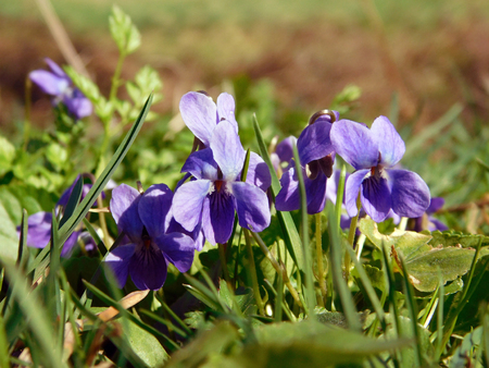Wild violet viola on meadow close up