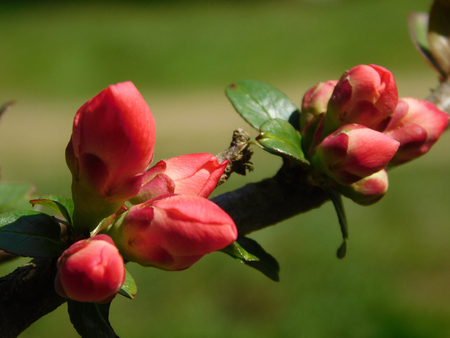 Beautiful buds of Chaenomeles japonica