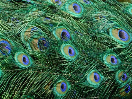 A photography of a colorful peafowl tail