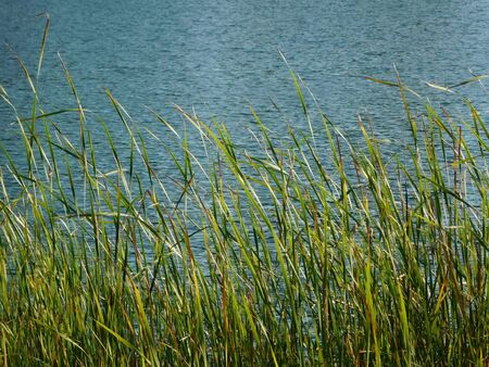Grass that grew out of a lake