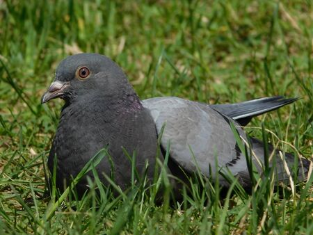 A picture of a sitting pidgeon in a park