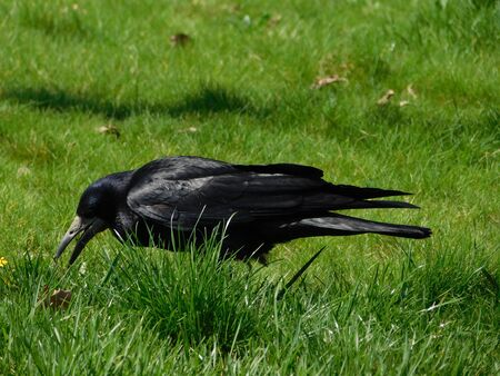 a picture of a crow standing in the grass. Stock fotó