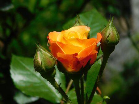 A picture of a colorful Floribunda