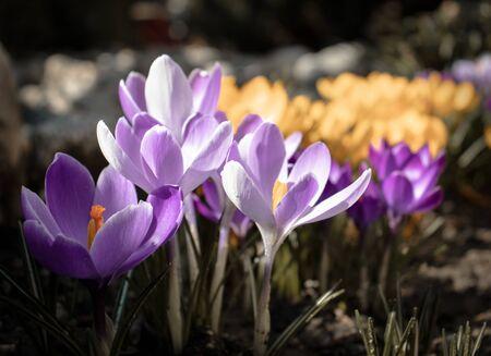 Saffron - crocus flower in the spring