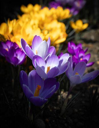 Saffron (crocus) flowers, close-up