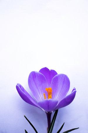 One blossomed purple crocus flower Stock fotó