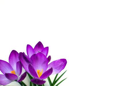 Three purple crocus flowers on white background