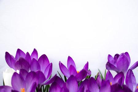 Many crocus flowers on white background Stock fotó